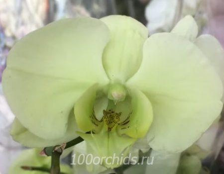 орхидея фаленопсис нежно-лимонная