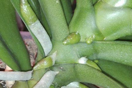 корни фаленопсиса