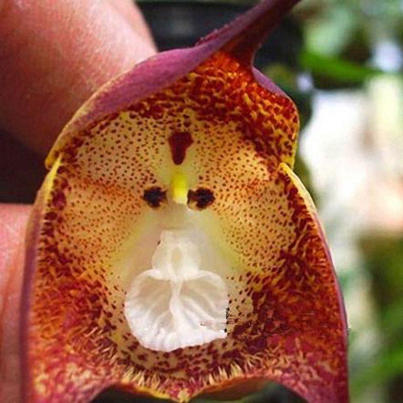 Орхидея обезьяна