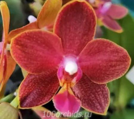 Орхидея фаленопсис Phoenix