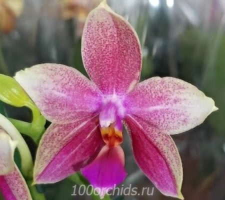 Орхидея фаленопсис Liodoro