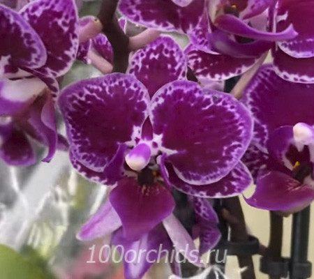 Орхидея мини лиловая с белой каймой