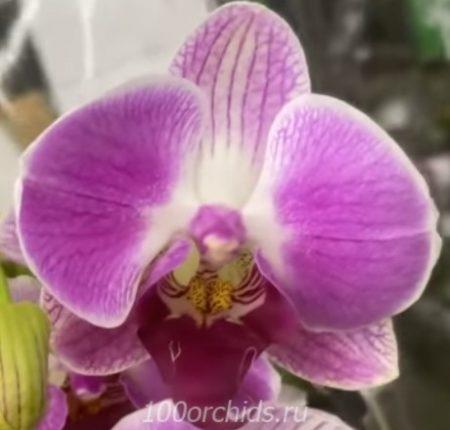 Орхидея фаленопсис Day Tripper