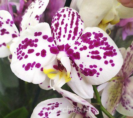 Arlekin орхидея фаленопсис