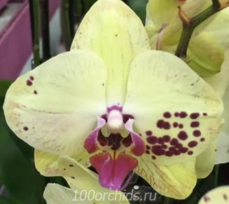 Орхидея фаленопсис Albufeira
