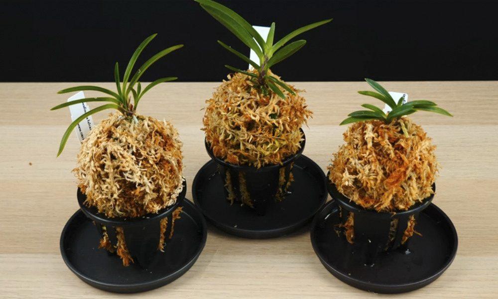 орхидея Неофинетия
