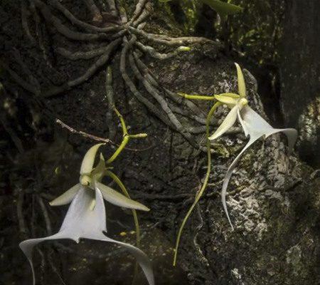 орхидея призрак3