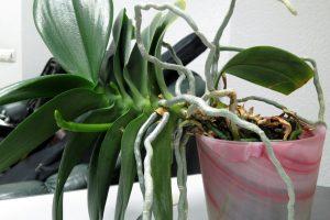 Разросшаяся орхидея