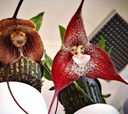 Орхидеи с лицом обезьян